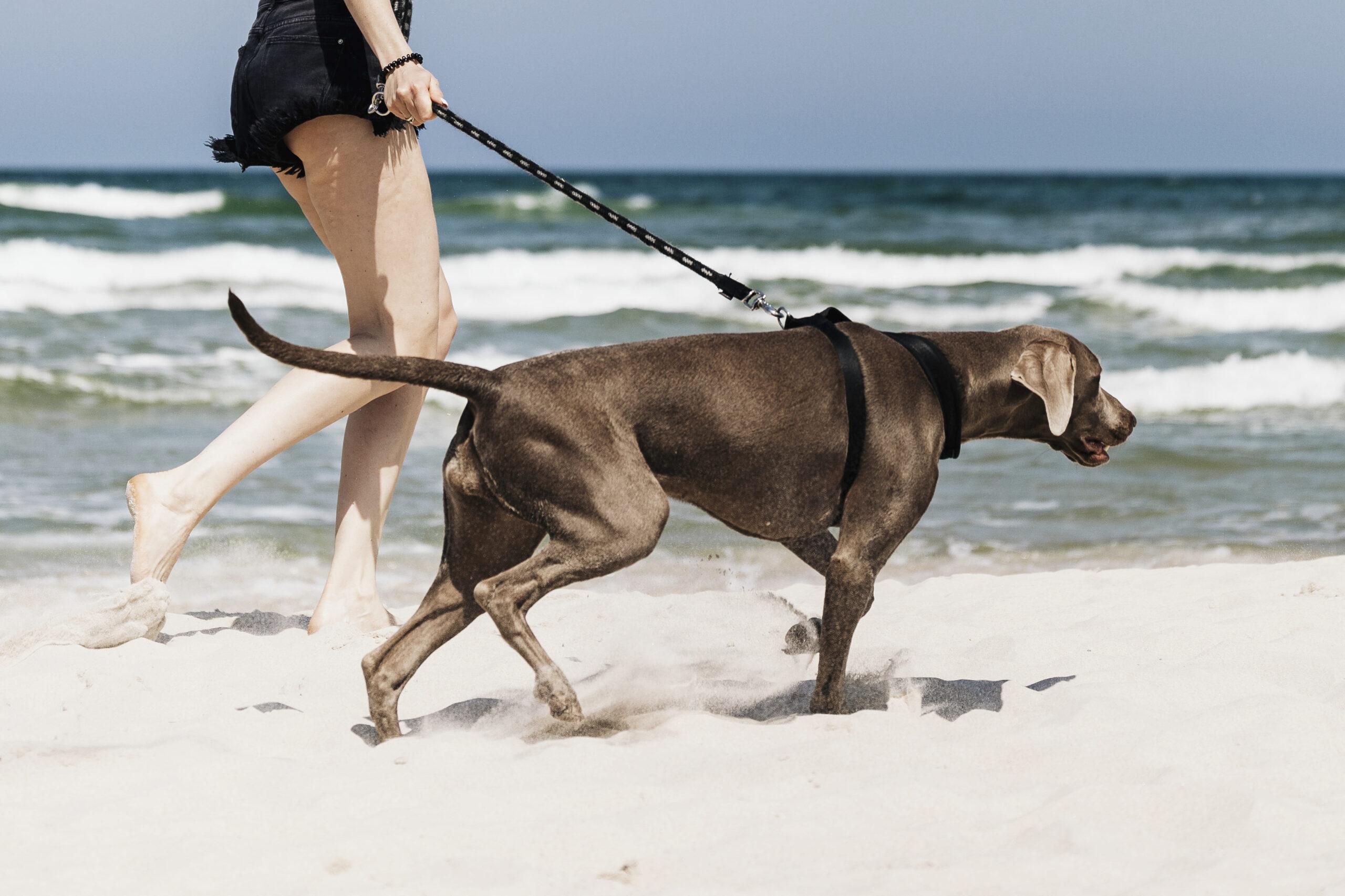 Woman walking her Weimaraner dog at the beach